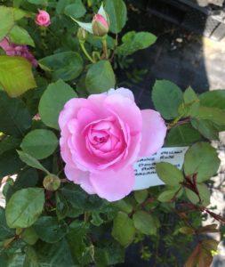 Rose pink flower cropped